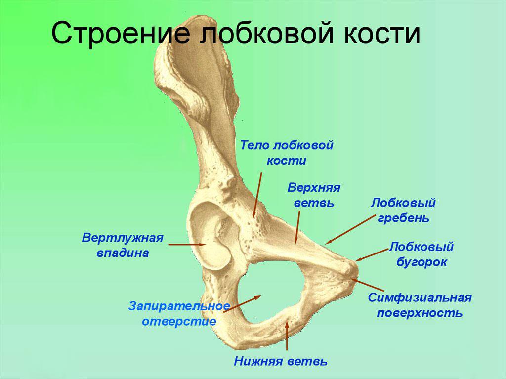 строение лобковой кости