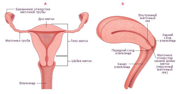 строение матки у женщины